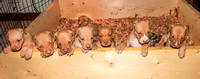 Delaware Red Pittbull Puppies * April 8, 2021